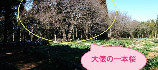 姉ヶ崎、大俵(おおびょう)の一本桜を見てきました!
