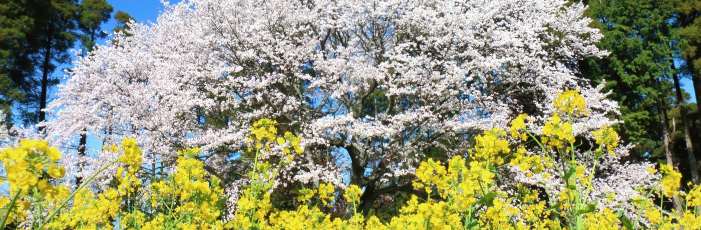 姉ヶ崎、大俵(おおびょう)の一本桜を見てきました!- ②